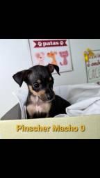 Pinscher Disponível