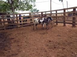 Vaca com gêmeas no pé