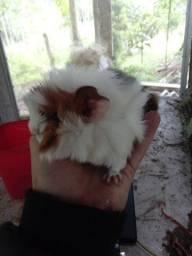 Porquinho da india peruano , 1 mes de idade