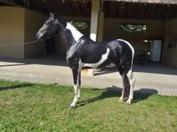 Cavalo Mangalarga Marchador registrado e chipado