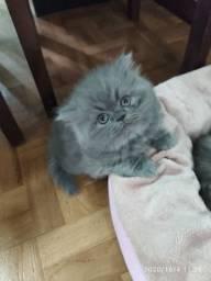 Gato persa macho cinza