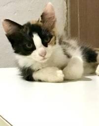 Gatinha manhosa para adoção 2 meses