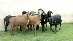 Vendo carneiro (7,00 o kilo)
