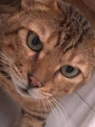 gato bengal inteiro
