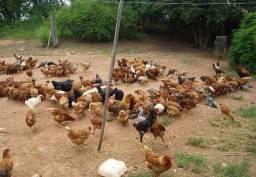Doa-se frangos