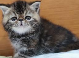 Filhote de gato persa femea exótica pura.Entrego em Joinville,Itajai,Camboriu,Floripa