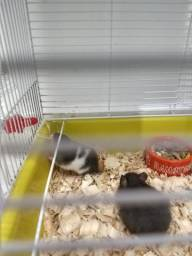 Hamsters Sirio