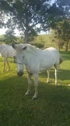 Cavalo marchador manso