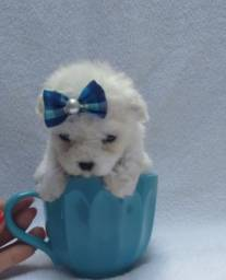Lindos filhotes Poodle micro toy puros