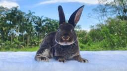 Mini coelho Rex