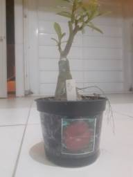 Planta Rosa do Deserto FF 328 Royal Red