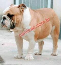 Bulldog Inglês disponível para inseminação