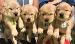 Filhotes de Golden retriever para reserva
