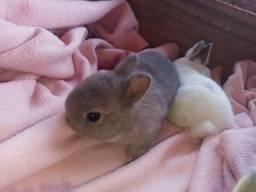 Filhotes de coelhos netherlands (anão)