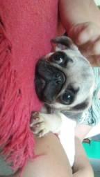 Vendo Pug fêmea 11 meses