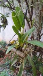Orquídea Laelia Anceps rubra