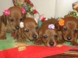 Basset dachshund miniatura pedigree até 12x cartões