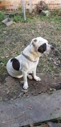 Doação cachorro Pitbull