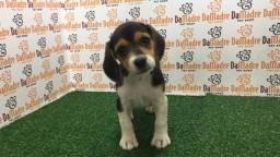 lindas femea de beagle  tricolor em 10x ka vacinada com garantia!!!
