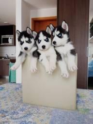 Husky Siberiano Disponíveis