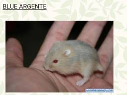 Hamster anão russo ARGENTE Blue ( nova mutacao)
