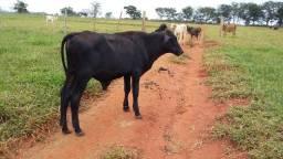Vacas e garrote