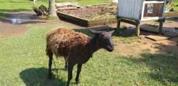 Vende se patos galinhas e um casal de ovelhas