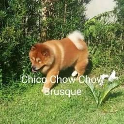 Chow Chow em Busca de uma namorada