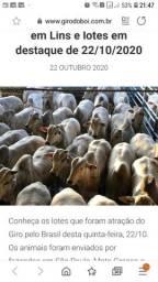 Vendo vacas nelore