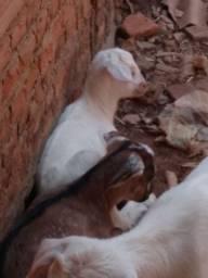 Vendo duas cabritas e 4 filhotes elas dando leite