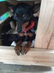 Procura-se Cachorro da Raça Pinscher (Pepe)