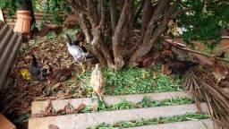 Franguinhos caipiras