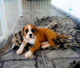 Boxer pedigree CBKC, vacinada, microchip, contrato