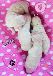 Bebês Poodle
