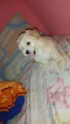 Cachorro poodle macho número 1