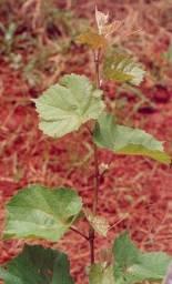 Muda de uva 572 IAC