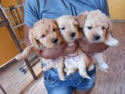 Filhotes de poodle