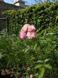 Muda planta rosa trepadeira