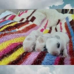 Filhotes de coelhos Netherland