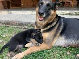 Filhote pastor alemão com labrador