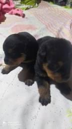Filhotes rottweiler disponível