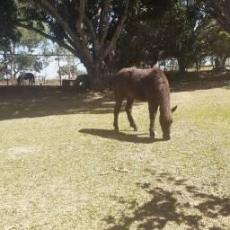 Vende-se mini ponei