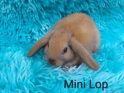 Mini lop,....disponível