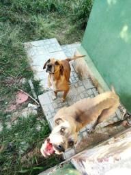 Cachorros fila (já adultos)