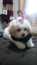Poodle toy femea porte pequeno