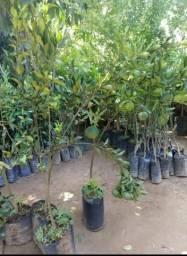 Plantas frutíferas produzindo