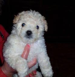 Filhote Poodle Micro confira!Shih Tzu Mini/Pinscher ZeroBeragle Mini/Husky Siberiano/