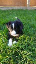 Filhote Border Collie