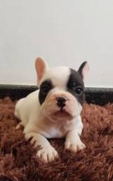 Filhote Bulldog Frances