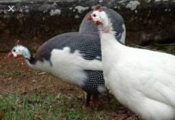 Vendo ou troco casal de galinhas d'angola